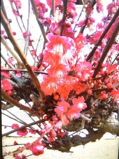春,ピンク,梅,鮮やかな