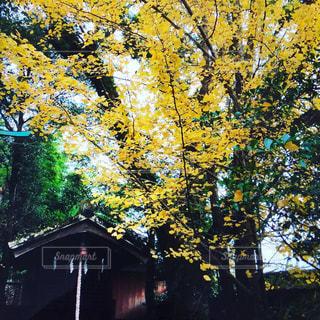 晩秋,祠,いちよう,小春日和,秋の日差し