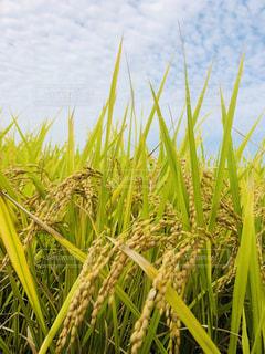 田んぼ,稲,秋空,豊作,刈り入れ,米の国