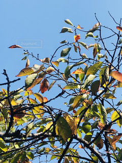 秋空 桜の木の紅葉 進む季節