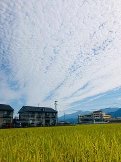 青空,稲,かかし,秋空,黄金色,羊雲,豊作,天高く,刈り入れ間近,過ごしやすい季節