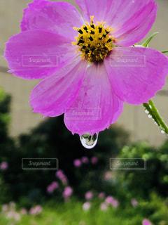 植物にピンクの花の写真・画像素材[1511394]