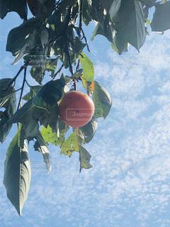 柿 秋の果物 秋空 うろこ雲 どこまでも青く 進め季節