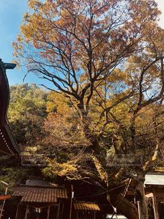 古木の秋の写真・画像素材[1602093]