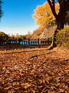 枯葉の絨毯の写真・画像素材[1611681]