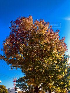 街路樹の秋の写真・画像素材[1611725]