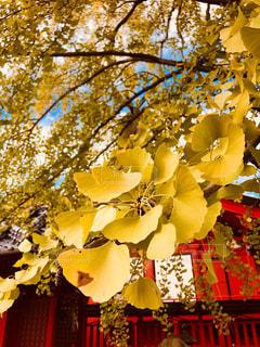 秋祭りの舞台の主役の写真・画像素材[1611762]