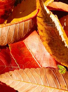 落ち葉の絨毯の写真・画像素材[1618741]