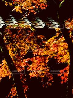 深まる秋の写真・画像素材[1622335]