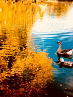 水の体の横に水の中を泳ぐ鳥の写真・画像素材[1622352]