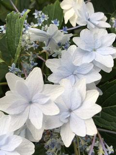 花,紫陽花,梅雨,六月,アジサイ