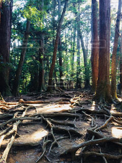 鞍馬山の樹木の写真・画像素材[1159977]