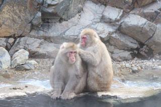 地獄谷野猿公園で温泉に入る猿の写真・画像素材[1195605]