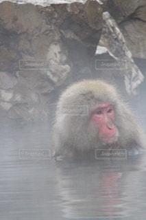 地獄谷野猿公園の温泉に入る猿の写真・画像素材[1195610]