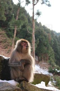 地獄谷野猿公園にて座る猿の写真・画像素材[1195618]