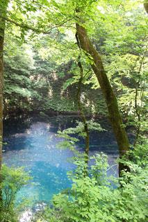 青森の青池の写真・画像素材[1195635]