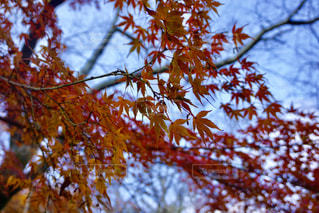 空,秋,紅葉,もみじ,秋空