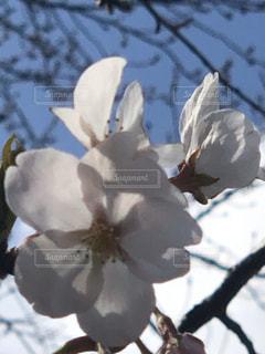 花,春,桜,草木,開花