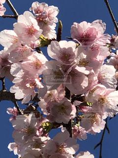 花,ピンク,鮮やか,満開,さくら
