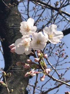 花,春,桜,樹木,草木,開花