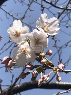 空,春,草木,さくら,開花