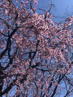 空,花,春,樹木,さくら