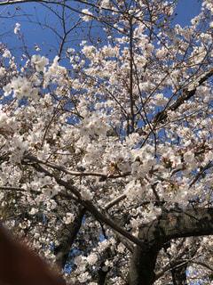 花,春,満開,樹木,さくら