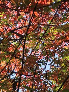 秋色のステンドグラスの写真・画像素材[889555]