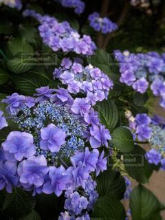 花,紫,紫陽花,梅雨,梅雨空