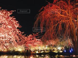 風景,春,桜,夜,夜景,きれい,綺麗,花見,なばなの里,フォトジェニック