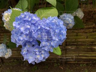 花,青,水色,紫陽花