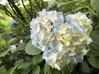花,白,水色,ハート,紫陽花