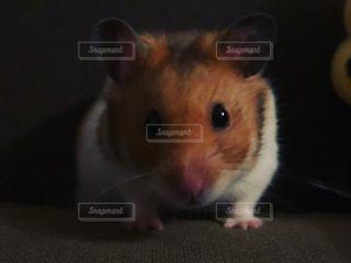 ハムスター,かわいい,リラックス,hamster,animal,relax