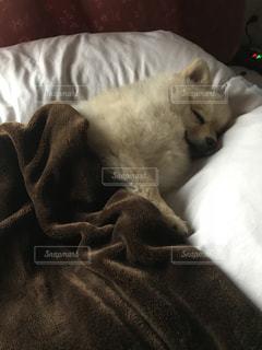 犬 愛犬 ポメラニアン