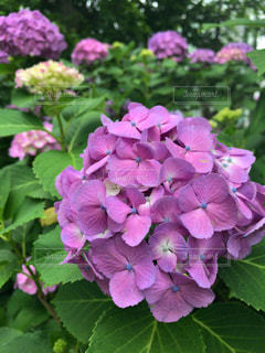 風景,花,屋外,枝,紫,季節,樹木,紫陽花,梅雨,おでかけ,草木,フォトジェニック