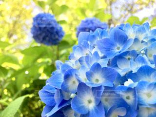 公園,花,紫,紫陽花,新緑,初夏,梅雨,アジサイ,竹取公園