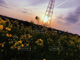 自然,夕日,綺麗,かっこいい,菜の花