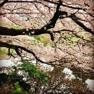新宿御苑 桜の写真・画像素材[1165884]