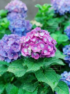 紫陽花の写真・画像素材[1238425]