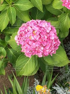 紫陽花の花の写真・画像素材[1238984]
