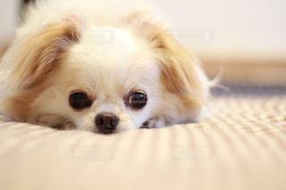 ベッドの上で横になっている茶色と白犬の写真・画像素材[1190122]