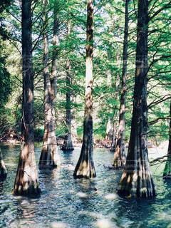 森の大きな木の写真・画像素材[1169925]