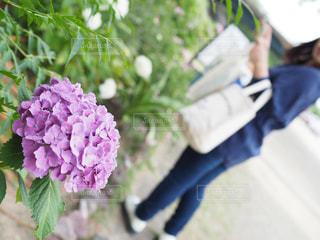 自然,花,雨,屋外,梅雨,はな,紫色,アジサイ
