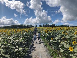 ひまわり畑を走る子どもたちの写真・画像素材[4451683]