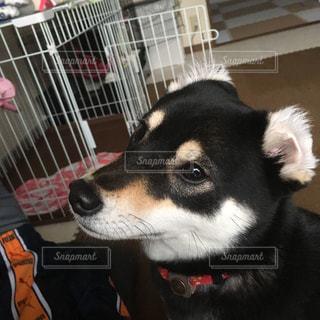 耳がくるんとしてる犬の写真・画像素材[1190738]