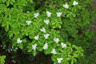 白い花の写真・画像素材[1184719]