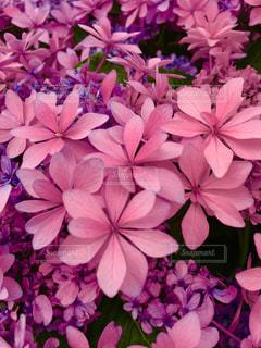 ピンク色の紫陽花の写真・画像素材[1225288]