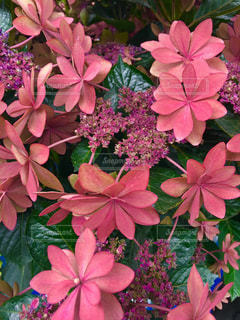 花,雨,ピンク,赤,鮮やか,紫陽花,梅雨,草木,複数