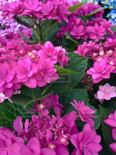 雨,ピンク,葉,景色,紫陽花,梅雨