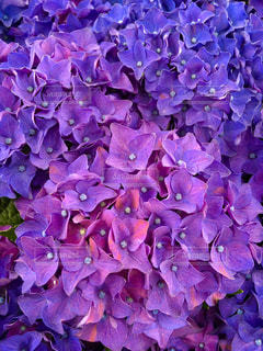 花,雨,紫,景色,鮮やか,紫陽花,梅雨
